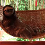 Reasons to go to Costa Rica:   Cute Sloth Overload